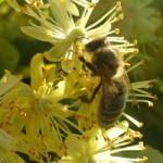 pszczoła na lipie