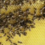 pszczoły na plastrach