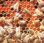 pszczoly-2